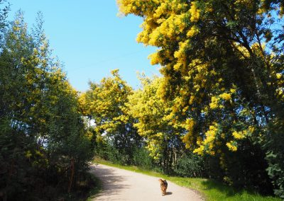 Walking with blooming mimosa