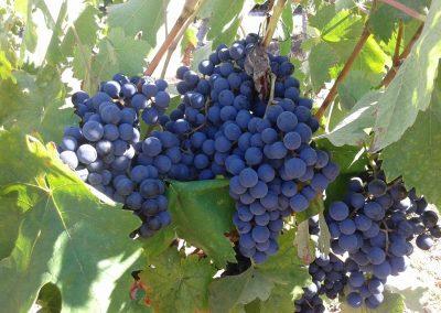 Druiven van Quinta Vale Porcacho