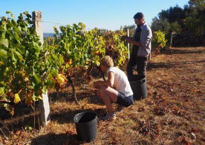 Druivenoogst op Quinta Vale Porcacho