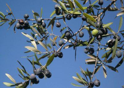 Olijven op Quinta Vale Porcacho