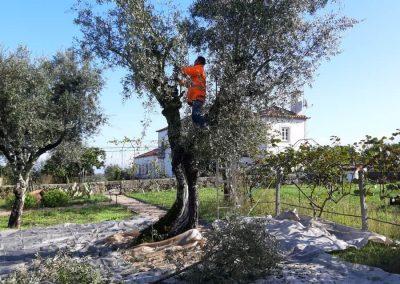 De boom in voor de olijvenoogst op Quinta Vale Porcacho