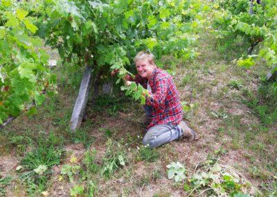 Op de knieën voor de druivenoogst van Quinta Vale Porcacho